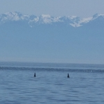 Orca Whales with the Olympic Mountains behind